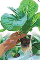 Gambar Sayuran yang ditanam dengan aeroponik