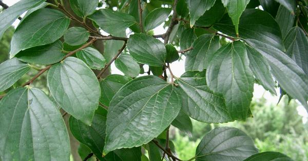Celtis sinensis