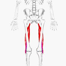 Biceps femoris- www.physioscare.com