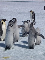 Emperor penguins creche – Antarctica, Jan. 2004 – photy by Matthieu Weber