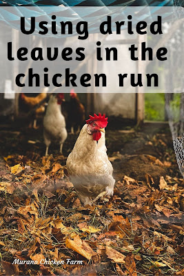 Chicken in leaves, coop run