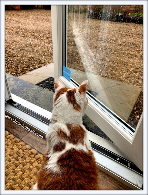 Feline Fiction on Fridays #122 ©BionicBasil® it's raining for a change at BBHQ