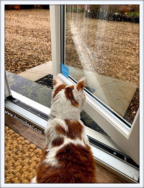 Feline Fiction on Fridays #122 ©BionicBasil® it's raining for a change at BBHQ