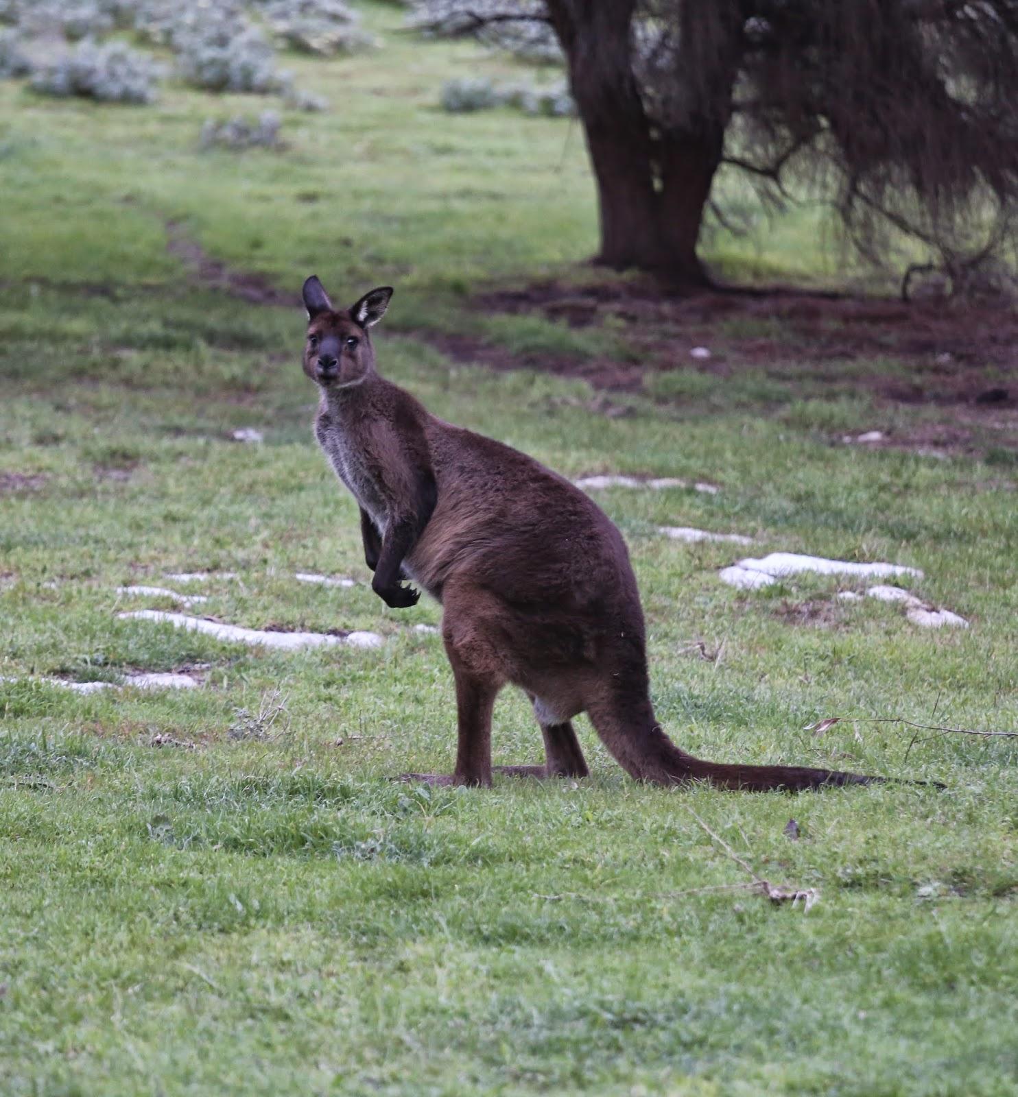 Kangaroo Island: Monkey Puzzle Blog: September 2014