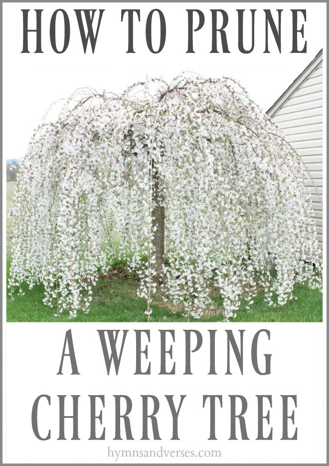 HYMNS & VERSES | HOW TO PRUNE A WEEPING CHERRY TREE