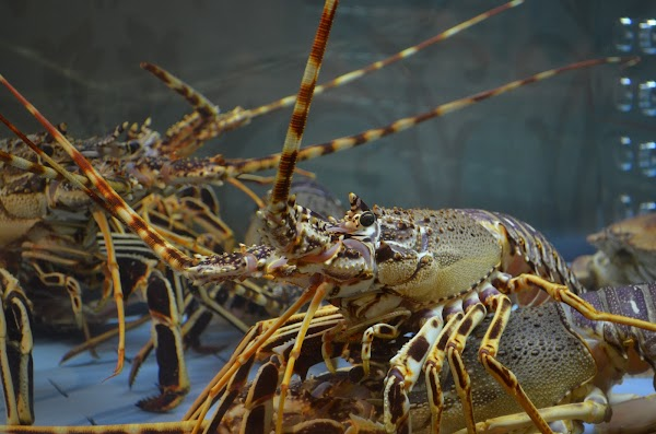 Panduan Singkat Budidaya Lobster Air Tawar