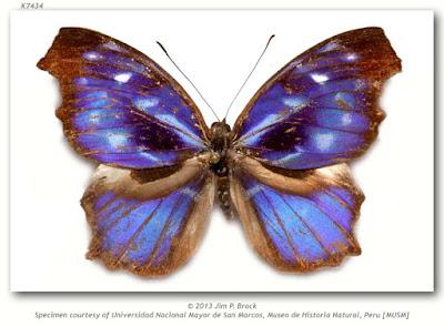 Mariposa daditos (Myscelia orsis)