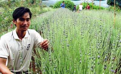 Vườn hoa oải hương Đà Lạt hút khách tham quan