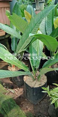 Jual Tanaman Hias Philo Lynette - Philodendron Linet