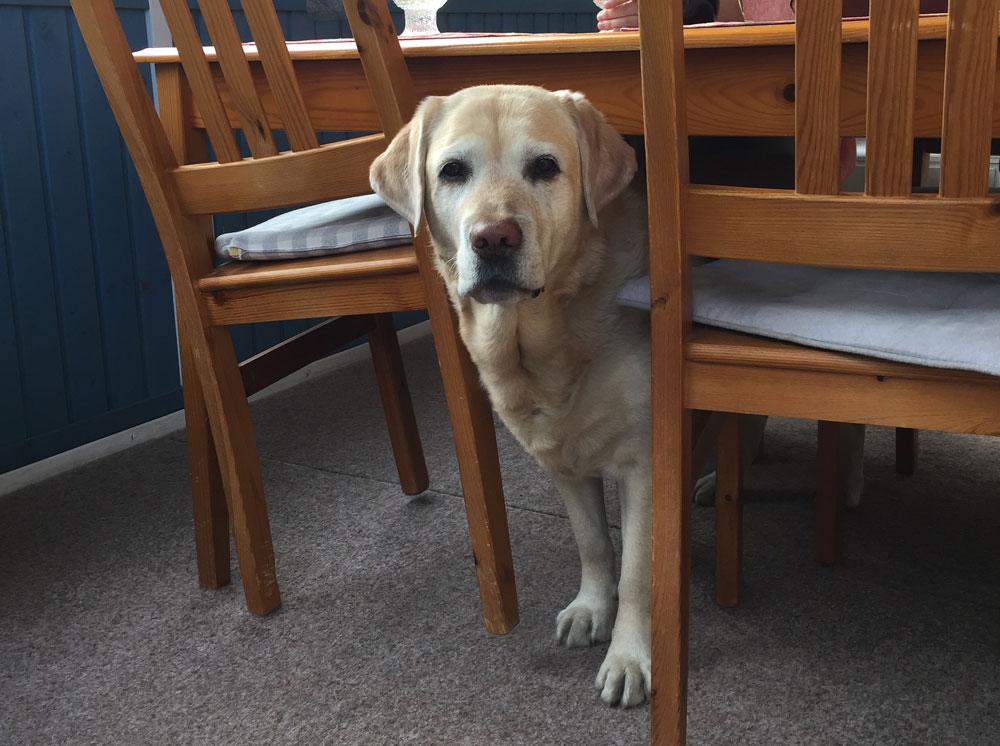 Labradorinnoutaja kurkistaa pöydän alla ja on siinä sivussa kaataa tuolin.