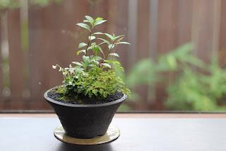 黒い焼き締めの鉢に入ったナチアワモリショウマの花の咲く山野草盆栽