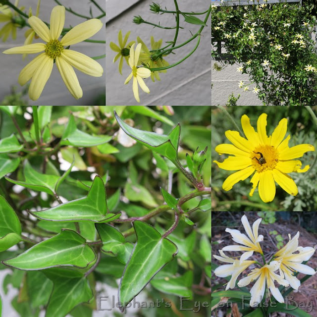 September's yellow flowers with Senecio macroglossus