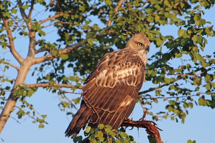 Adler im Udawalawe Nationalpark, Sri Lanka
