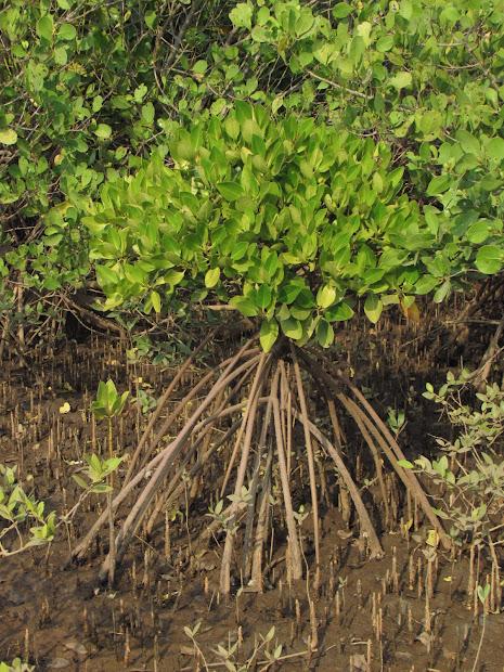Churning Earth Mangroves Line Of