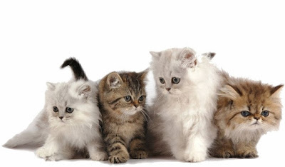 Berbagai Macam Jenis Ras Kucing