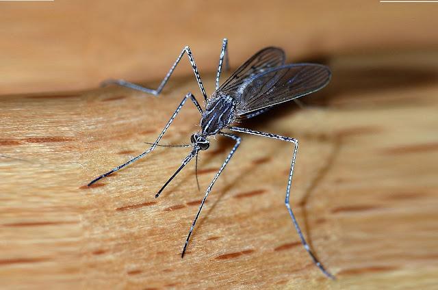 صورة مكبرة مجهرية للناموس البعوض
