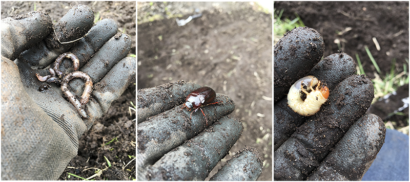 Earthwords, June beetle and white grub