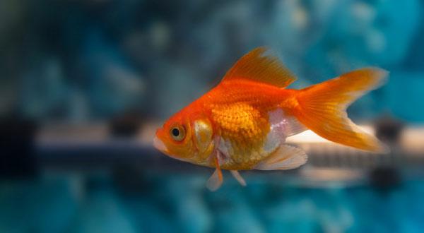 Penyebab Ikan Mas Koki Cepat Mati
