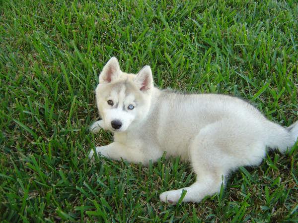 Dogs Info: Serberian H...
