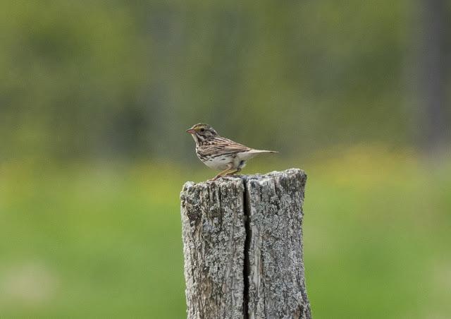 Savannah Sparrow - Fibre, Michigan, USA