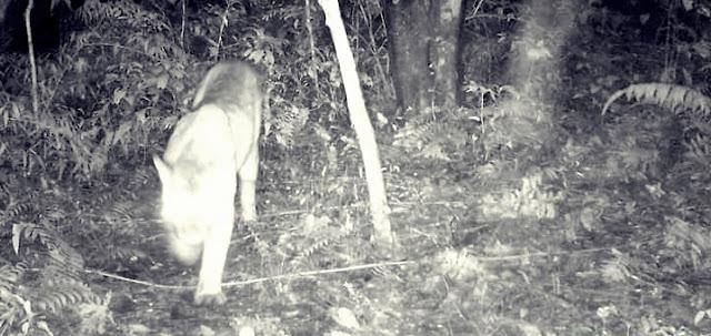 Palmital: Câmera registra Onça Parda em Estação Ecológica