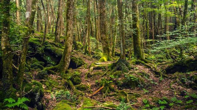 Foto Hutan Aokigahara Jepang 1