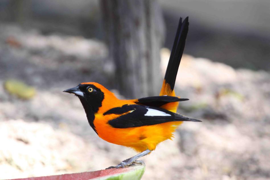 Burung Campo Troupial