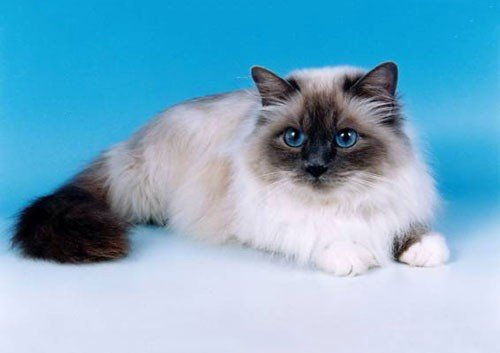 Follow the best types of cats you can raise at home | cat and dogs