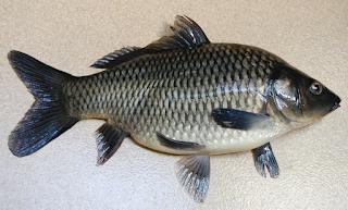 Indukan Unggul Betina Ikan Mas