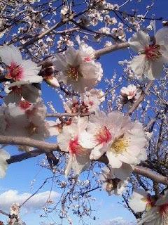 Flori de migdal