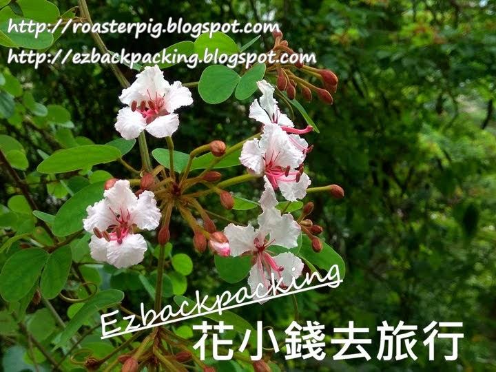 香港粉葉羊蹄甲