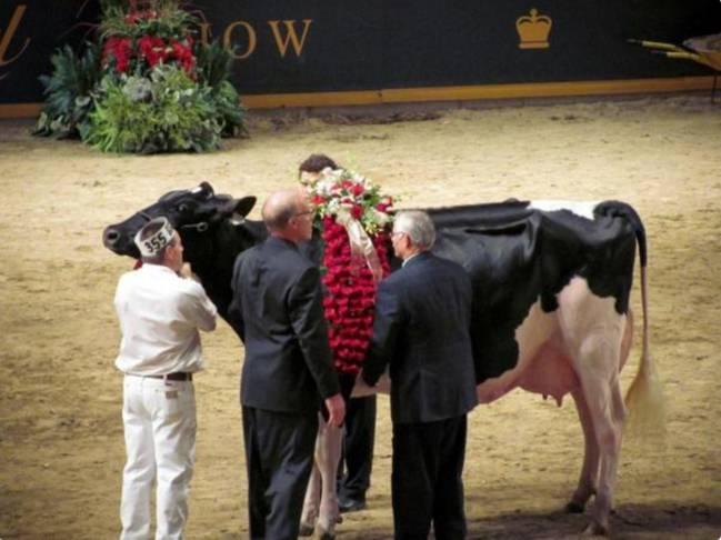 Vaca Miss Missy. 1 millon de dólares. Los animales más  caros del mundo. La vaca mas cara del mundo.