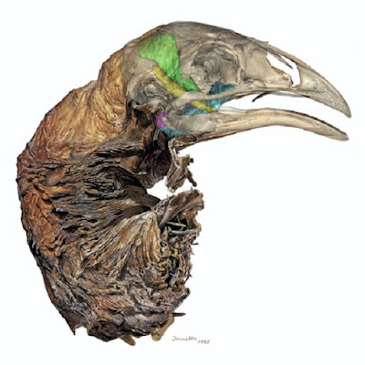Medical imaging helps define Moa diet