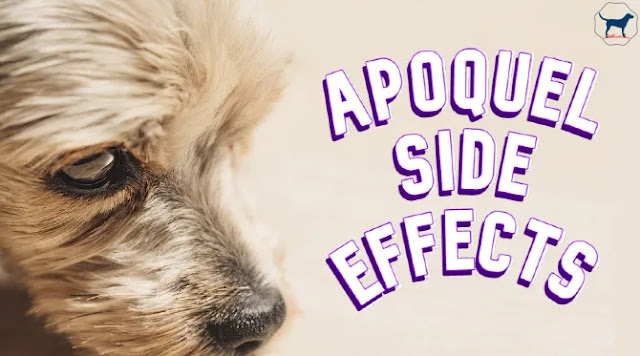 apoquel-side-effects-in-dogs
