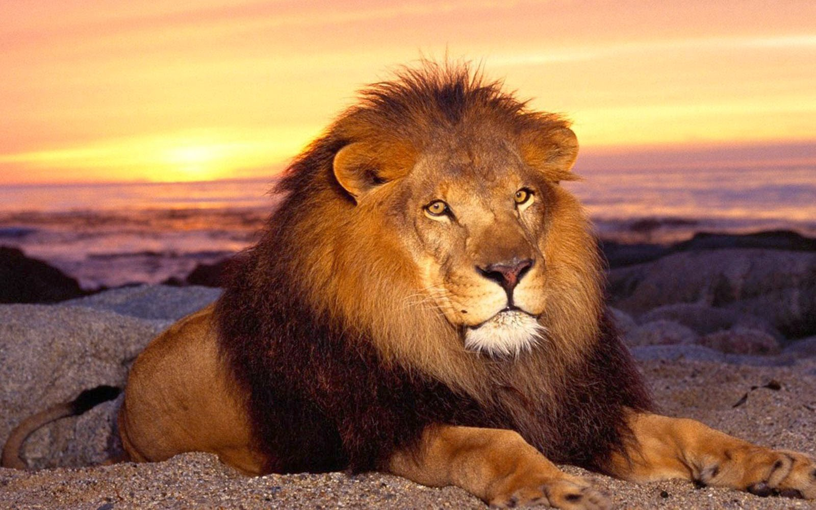 Wallpapers African Lion Wallpapers
