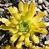 Sempervivum 'Cmiral' s Yellow