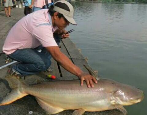 25 Resep Essen Oplosan Ikan Patin Galatama Paling Jitu Ampuh Jejaksemut