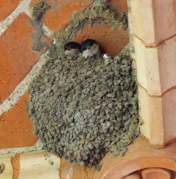 house martin nest in Tuscany