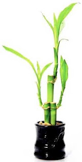 Picture of  Lucky Bamboo Plant