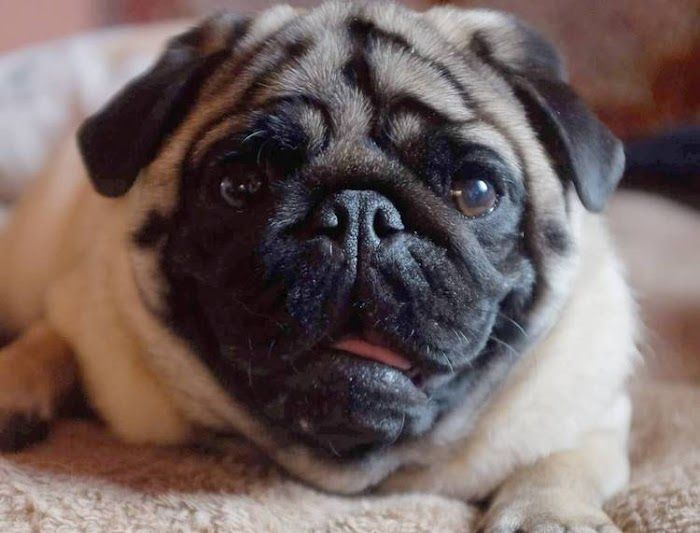 6 Most Common Pug Health Problems