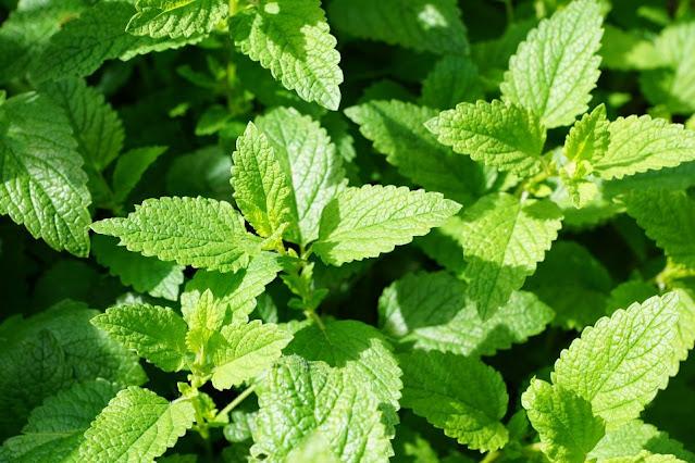 Manfaat dan kandungan daun mint untuk kesehatan