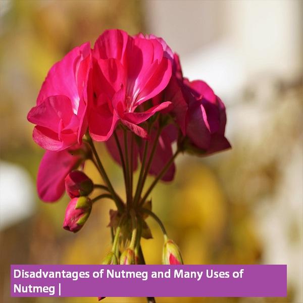 health benefits of nutmeg  benefits of nutmeg on skin, benefits of nutmeg essential oil, benefits of nutmeg oil, benefits of nutmeg tea, benefits of nutmeg for babies, benefits of nutmeg in