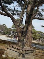 Preserved Japanese pine - Kenroku-en Garden, Kanazawa, Japan