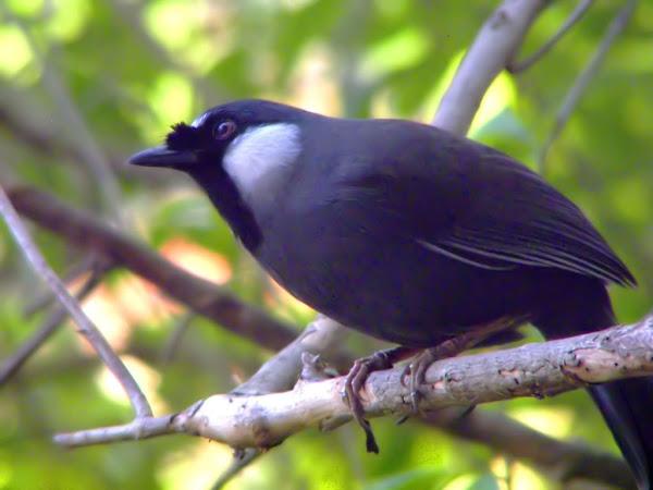 Chim Khướu Kỹ thuật thuần dưỡng và chăm sóc chim khỏe mạnh hót hay căng lửa