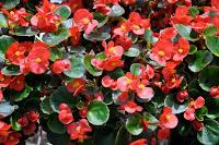 Begonias en perfecto estado