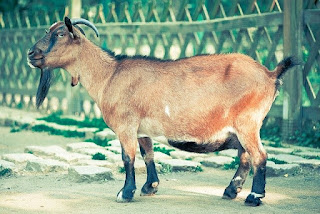 Goat life cycle clarifies the stages of the complete method