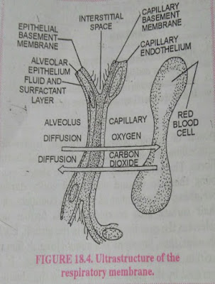 Structure of Respiratory membrane, Respiratory membrane
