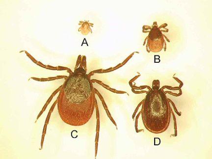 A térdvizesedés a Lyme-kór első jele is lehet