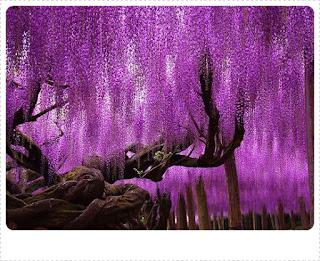 Pohon Besar Wisteria