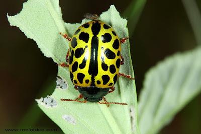 Mariquita leopardo (Caligrapha polyspila)